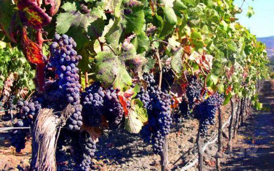 Şarabın Yolculuğunu İzlemek İçin, CRN Tur'dan Öğle Yemeği Dahil Günübirlik Mürefte Bağbozumu Turu!