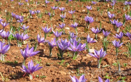 Leggo Tur'dan 1 Gece Konaklamalı Safran Çiçeği Hasadı, Tokatlı Kanyonu, Yörük Köyü, Safranbolu Turu